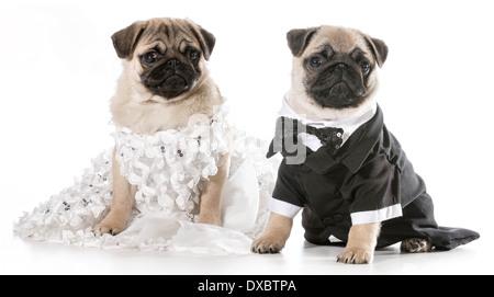 dog bride and groom - pugs isolated on white background  - Stock Photo
