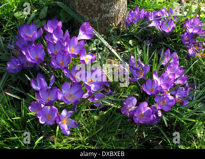 Beautiful Purple spring Crocus flowers in an English Country Garden - Stock Photo