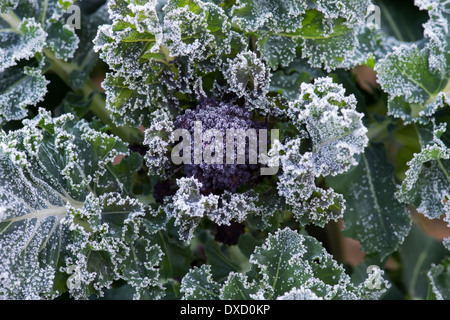 Early purple sprouting broccoli covered in frost in a vegetable garden - Stock Photo
