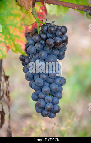 Blue wine grapes in vineyard Moselle Germany Rhineland Palatinate Close Up Macro  Blaue rote Weintrauben im Herbst - Stock Photo