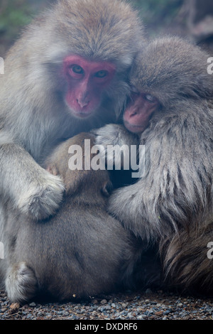 Japanese Macaque (macaca fuscata) family huddled together for warmth - Stock Photo