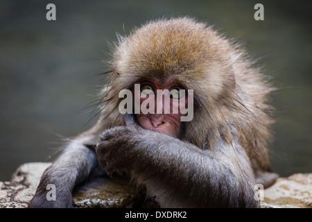 Curious japanese macaque (macaca fuscata) baby - Stock Photo