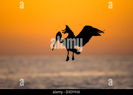 A Brown Pelican flying is silhouetted against the dawn brightening over the Sea of Cortez in Los Cabos, Mexico - Stock Photo
