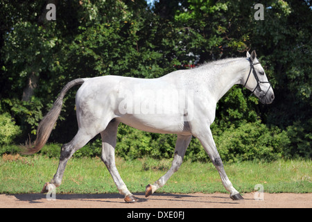 Portrait of a gray adult Pure Spanish Horse, Andalusian - Stock Photo