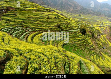 Wuyuan. 25th Mar, 2014. Photo taken on March 25, 2014 shows the scenery of cole flowers in Huangling Village in - Stock Photo