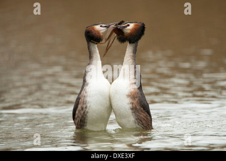 A pair of Great Crested Grebe doing a courtship dance with weed in bill and rising out of the water - Stock Photo