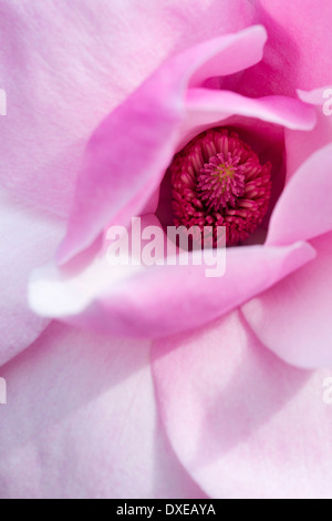 Magnolia Caerhays Belle tree flower. UK - Stock Photo