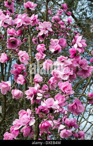 Magnolia Caerhays Belle tree flowering. UK - Stock Photo