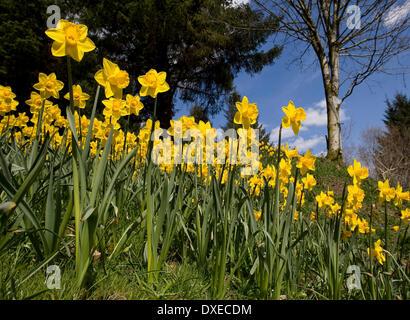 daffodills in perthshire - Stock Photo