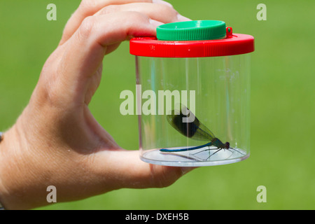 Banded Demoiselle (Calopteryx splendens) in a mug magnifying glass. Germany - Stock Photo