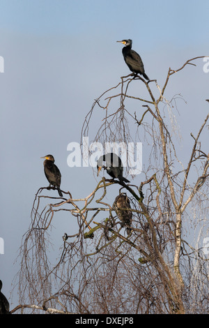 Great cormorant, Phalacrocorax carbo, group of birds in tree, Worcestershire, February 2014 - Stock Photo