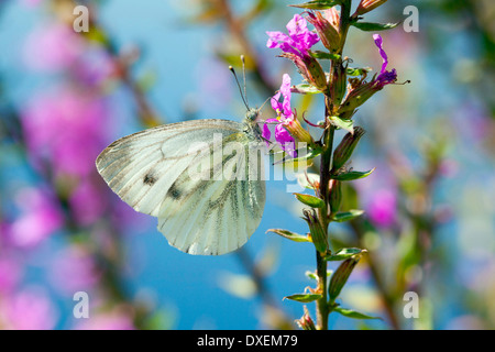 Large White (Pieris rapae), sucking nectar from a flower. Germany