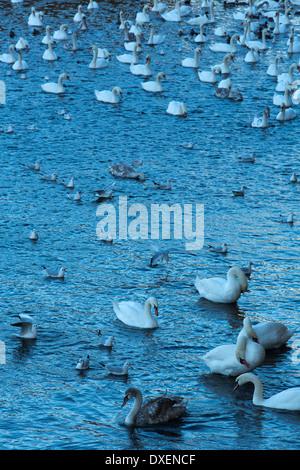 swans and gulls in the Vltava River. Prague, Czech Republic - Stock Photo