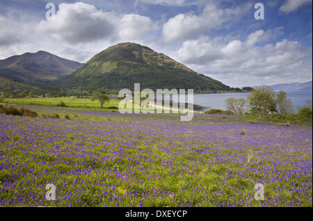 Bluebells, North Ballachulish,loch-leven, - Stock Photo