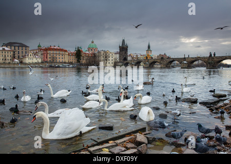 swans and gulls on the Vltava River with Charles Bridge beyond, Prague, Czech Republic - Stock Photo