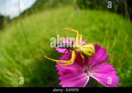 Crab spider (Misumena vatia) | Veränderliche Krabbenspinne - Stock Photo