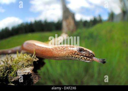 Slow worm (Anguis fragilis) | Blindschleiche (Anguis fragilis) - Stock Photo