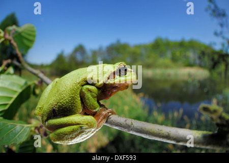 European tree frog (Hyla arborea formerly Rana arborea), Kelpshagen, Germany | Europäische Laubfrosch (Hyla arborea) - Stock Photo