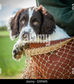 A three month old English Springer Spaniel puppy being carried in a game bag - Stock Photo