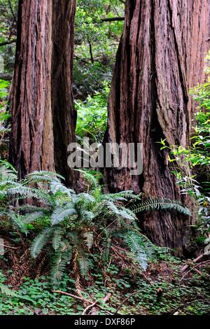 Coast Redwoods, Muir Woods National Park, California, USA / (Sequoia sempervirens) - Stock Photo