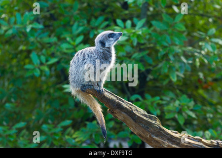 Meerkat ( Suricata suricatta ) Sitting On Tree On Sentry Duty - Stock Photo