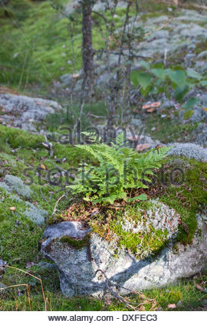 Ferns growing on a rock - Stock Photo