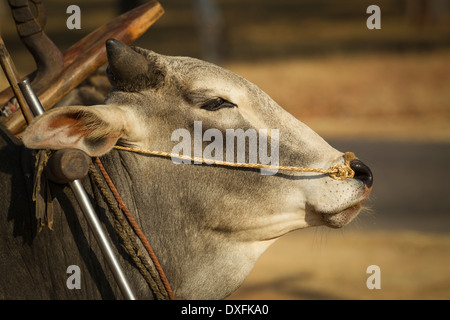 Myanmar (Burma), Mandalay Division, Bagan, zebu oxen used as domestic cattle - Stock Photo