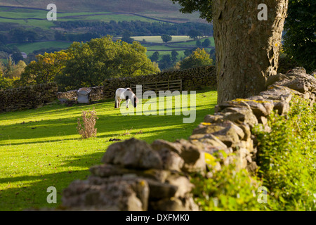 Horse Grazing in Field near Burnsall, Yorkshire Dales National Park, United Kingdom