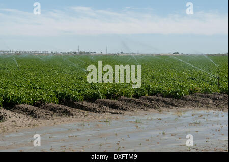 Mecca, California, USA. 21st Mar, 2014. Sprinklers water crops near the Salton Sea in Imperial County, Calif. The - Stock Photo