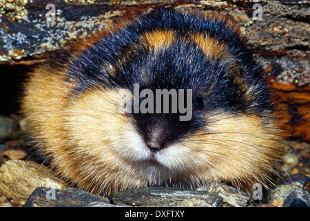 Norway lemming (Lemmus lemmus) - Stock Photo