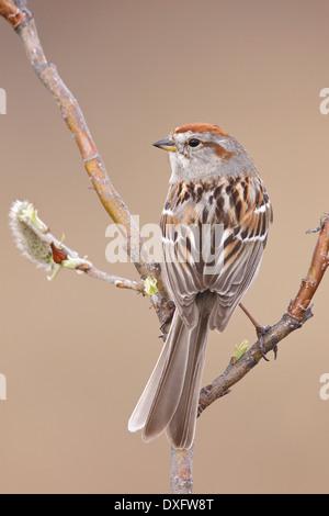 American Tree Sparrow - Spizella arborea - Adult breeding - Stock Photo