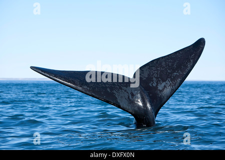Tail of Southern Right Whale, Eubalaena australis, Valdes Peninsula, Patagonia, Argentina - Stock Photo