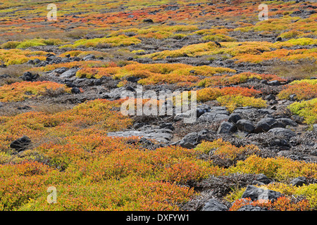 Sea Purslane, Plaza Sur Island, Galapagos Islands, Ecuador / (Sesuvium portulacastrum) / Galapagos Shoreline Purslane - Stock Photo