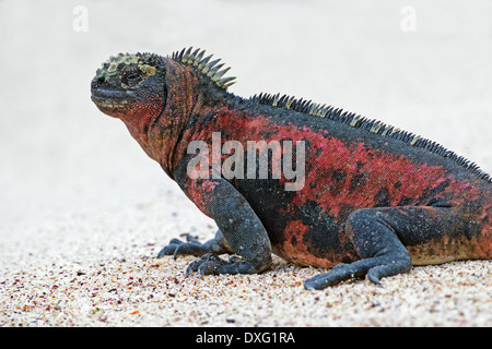 Marine Iguana, Hood Island, Galapagos Islands, Ecuador / (Amblyrhynchus cristatus) / Espanola - Stock Photo