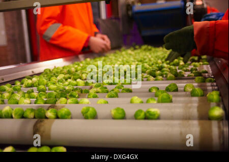 Machine Harvesting Brussel Sprouts In Farm Field - Stock Photo