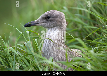 Juvenile Herring Gull (Larus argentatus) North Yorkshire coast in the United Kingdom - Stock Photo