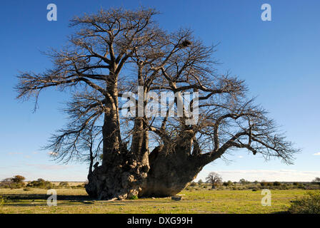Big Baobab tree on the edge of Sowa Pan, Makgadikgadi Pans,Botswana - Stock Photo