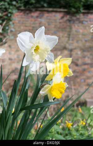 Daffodils blooming in spring in England, UK - Stock Photo