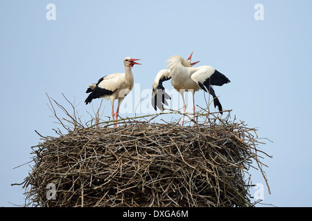 White Storks (Ciconia ciconia), greeting each other, on nest, stork village of Linum, Brandenburg, Germany - Stock Photo