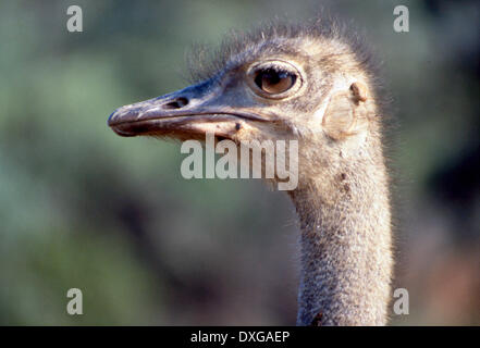 Female ostrich with ticks - Stock Photo