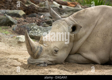 White Rhinoceros (Ceratotherium simum), asleep, Auckland Zoo, Auckland, North Island, New Zealand - Stock Photo