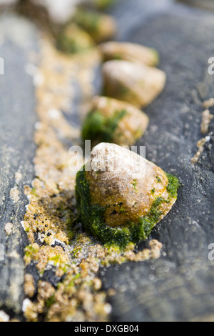 Limpets and barnacles on black metamorphic rock, Isle of Islay, Inner Hebrides, Scotland