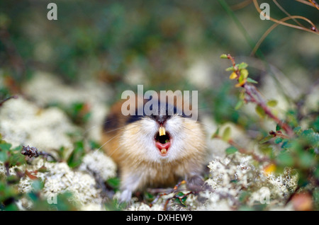 Norway lemming (Lemmus lemmus) hissing - Stock Photo