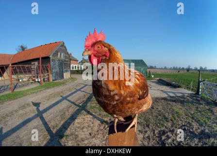 Free-range Chicken sitting on fence post on Norfolk smallholding - Stock Photo