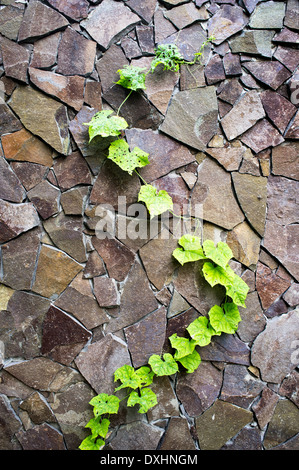 massive wall of cut stone on which the green ivy grows - Stock Photo