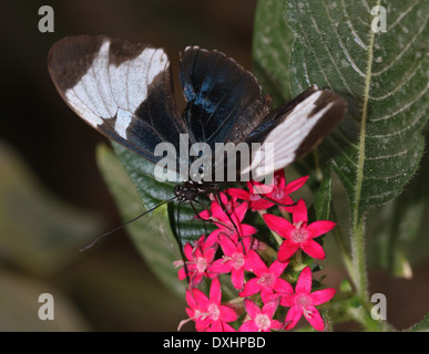 Sapho Longwing (Heliconius sapho) with wings opened, foraging on a red flower - Stock Photo