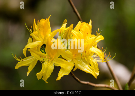 Yellow azalea, Rhododendron luteum, in a Cornish garden - Stock Photo