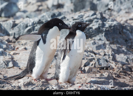 Adelie Penguins, Pygoscelis adeliae at Madder Cliffs, Suspiros Bay, at the west end of Joinville Island, Antarctica - Stock Photo