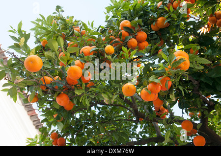 oranges growing on a tree Portugal - Stock Photo