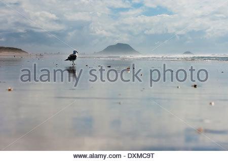 New Zealand North Island Bay Plenty Tauranga Papamoa Beach with Mount Maunganui in the background gull (Larus dominicanus) - Stock Photo